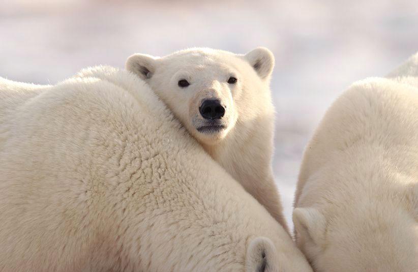 Cute Polar Bears