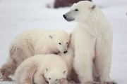 Polar Bears Family